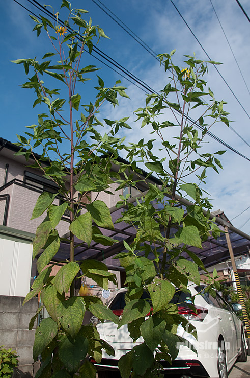 市販の芋から育てたキクイモ(2株、草丈目測2.5m、茎下部の枝は落とした) 茅ヶ崎市浜之郷 2020/09/19