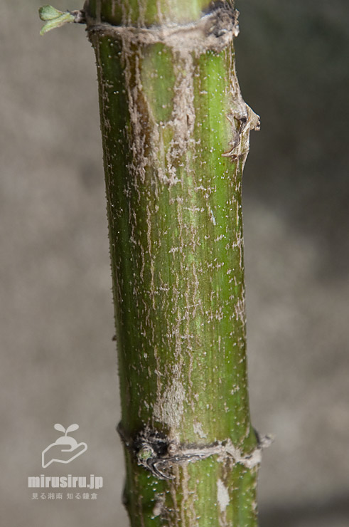市販の芋から育てたキクイモの茎下部(葉と枝は人為的に落とした) 茅ヶ崎市浜之郷 2020/09/19