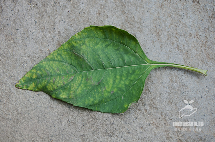 市販の芋から育てたキクイモの葉(葉身17.5cm、葉柄7cm) 茅ヶ崎市浜之郷 2020/09/19
