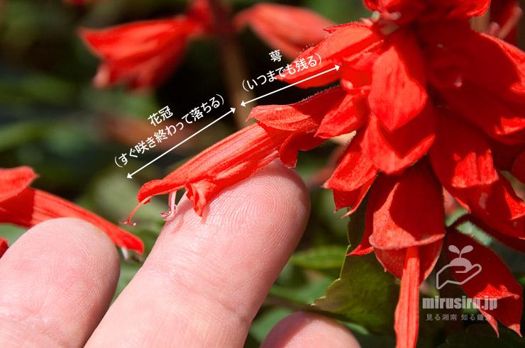 サルビア('ビスタ レッド')の萼と花冠 鎌倉市・大船フラワーセンター 2017/06/09