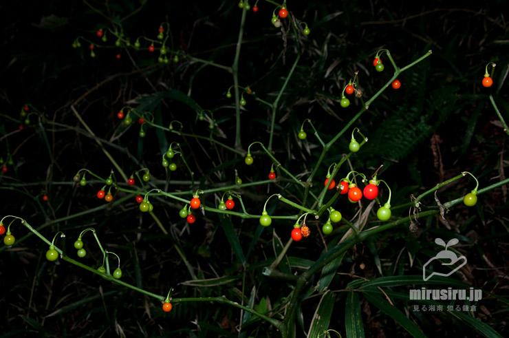 ハダカホオズキの熟した実、葉がないのは虫による食害か 逗子市・蘆花記念公園 2018/10/25
