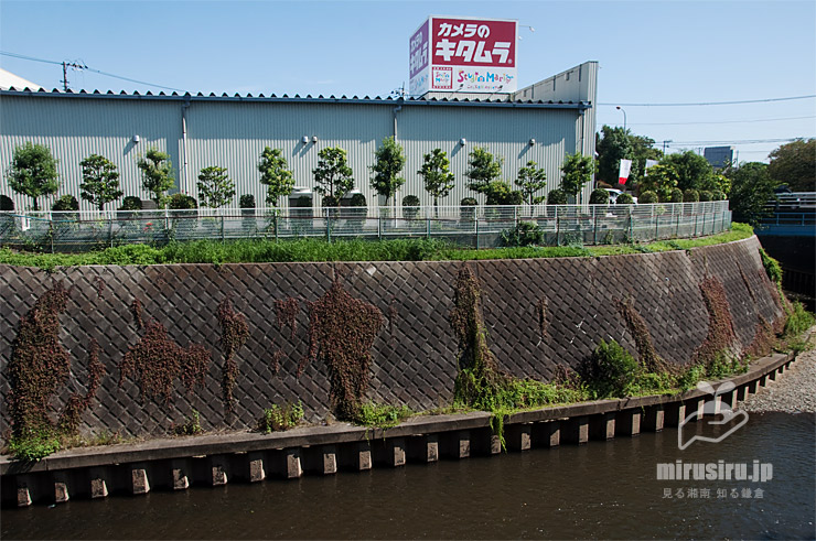 護岸ブロックに生えたヒメツルソバ 藤沢市湘南台・引地川 2020/09/30