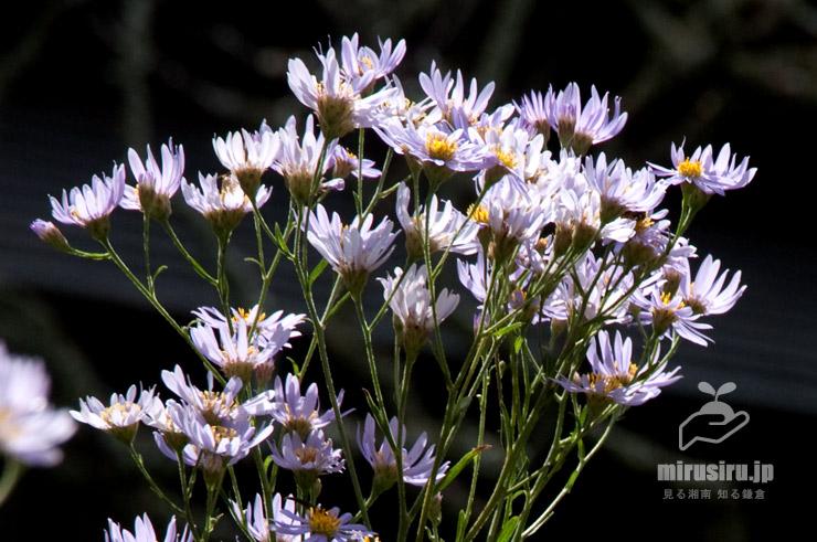 シオン、ふつうは下から花を見上げる 鎌倉市・東慶寺 2020/10/06