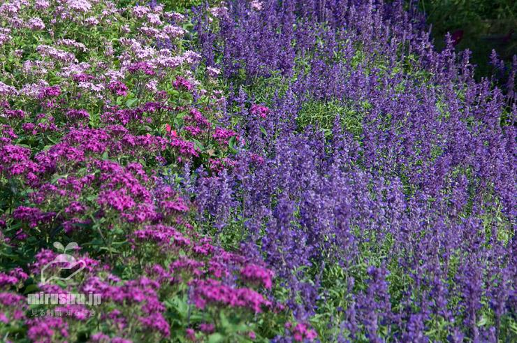 花壇を埋めるように植えられたブルーサルビア(左半分はペンタス) 鎌倉市・大船フラワーセンター 2020/10/06