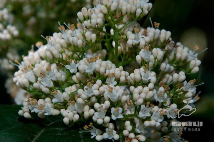 ムラサキシキブの白花、オオムラサキシキブのような巨大花序 鎌倉市・大船フラワーセンター 2017/06/09