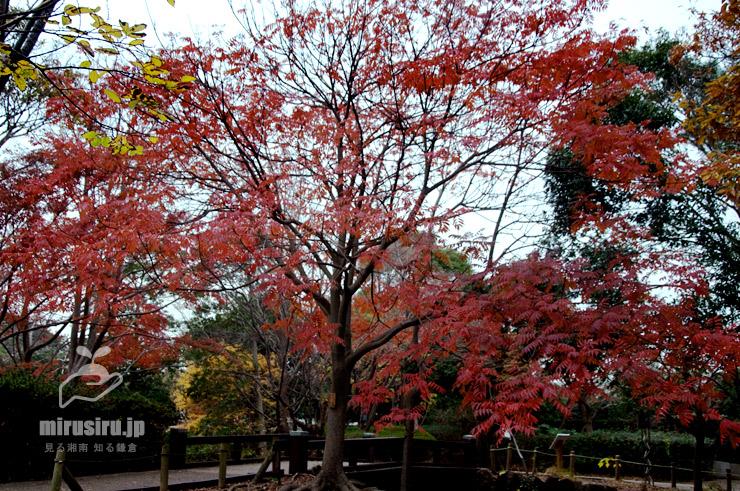 ハゼノキの紅葉 藤沢市・長久保公園 2019/12/11