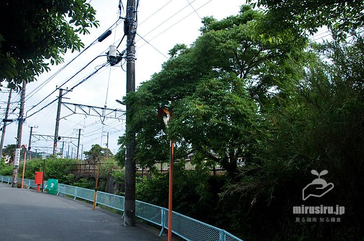 民家周辺にも生えるハゼノキの雄株 鎌倉市扇ガ谷・扇川 2020/05/30