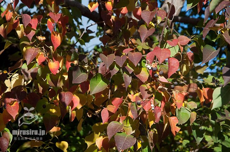 ナンキンハゼの微妙な紅葉(既に葉を落とし始めている) 茅ヶ崎市・上ノ田公園 2020/11/14