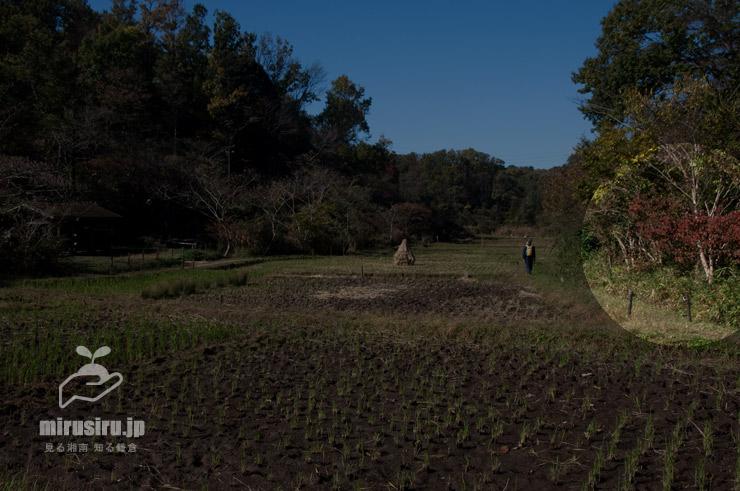 林縁部に生えたガマズミ 横浜市戸塚区・舞岡公園 2020/11/14