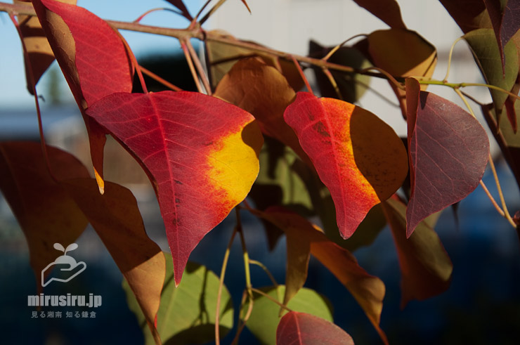 ナンキンハゼの紅葉 茅ヶ崎市西久保 2020/11/21 ※暖秋で当たり年か
