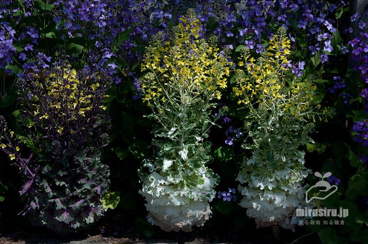 花が咲いたハボタン(背景はオオアラセイトウ) 茅ヶ崎市・宝蔵寺 2019/04/03
