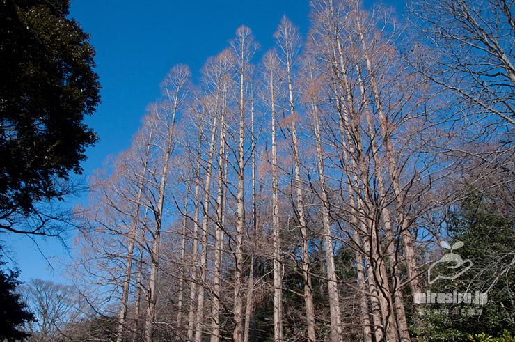 冬のメタセコイア 東京都文京区・小石川植物園 2020/01/21