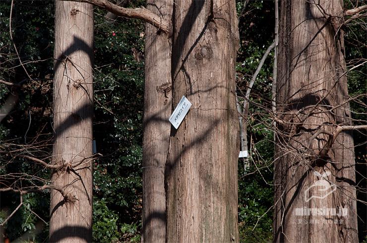 メタセコイアの幹(樹皮) 東京都文京区・小石川植物園 2020/01/21