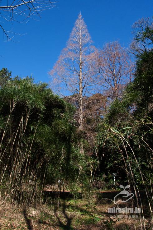 冬のメタセコイア(手前はタイミンチク) 東京都文京区・小石川植物園 2020/01/21