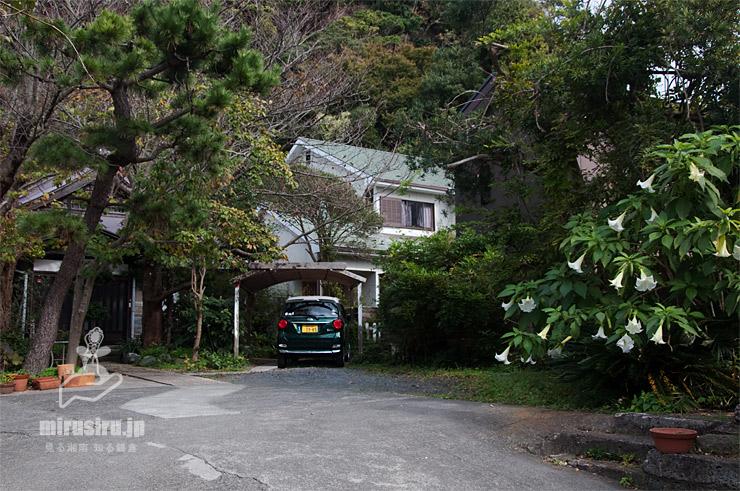 ブルグマンシア(ダチュラ) 鎌倉市・別願寺 2020/11/06