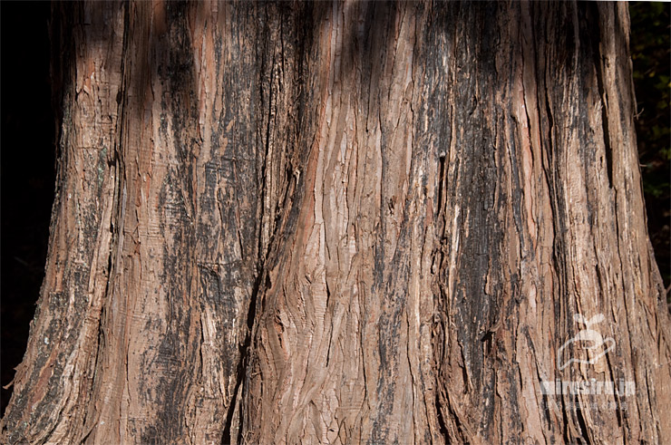メタセコイアの幹(樹皮) 相模原市南区・相模原公園 2020/12/08