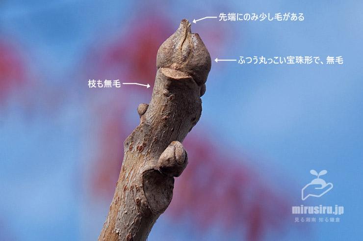 ハゼノキの冬芽 茅ヶ崎市浜之郷 2020/12/12