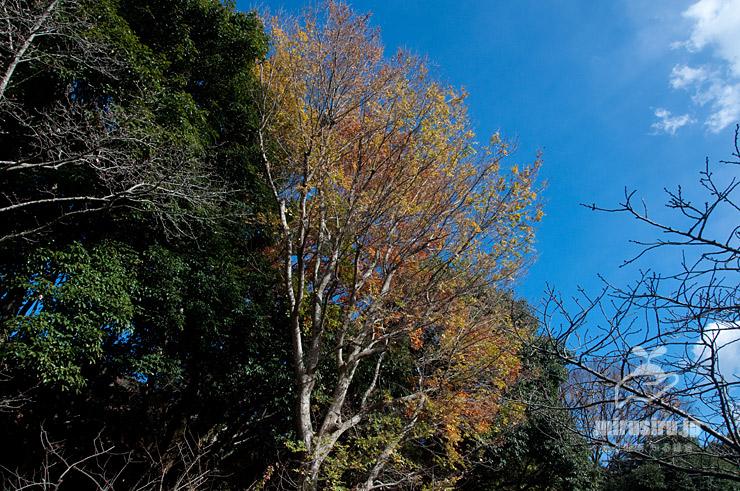 アキニレの黄葉 横浜市金沢区・金沢自然公園 2020/12/15
