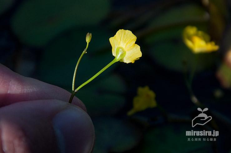 オオバナイトタヌキモの花の裏側 鎌倉市・大船フラワーセンター 2019/11/08