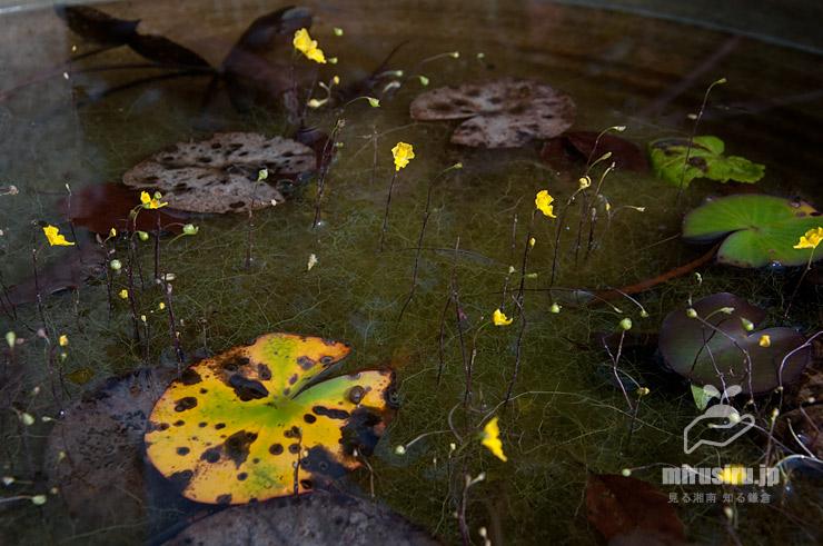 秋の終わりかけオオバナイトタヌキモ(丸葉はスイレン) 鎌倉市・大船フラワーセンター 2020/11/03