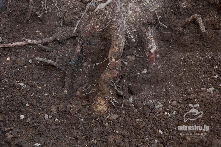 ヤマノイモの自然薯 茅ヶ崎市浜之郷 2020/11/15