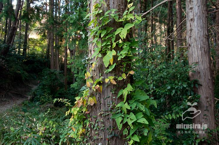 木の幹を登るノササゲ 大磯町・高麗山公園 2020/11/18