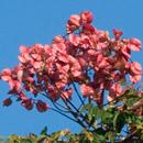 タイワンモクゲンジの色付いてはいるがまだ未熟だろう実 藤沢市・長久保公園 2020/11/26