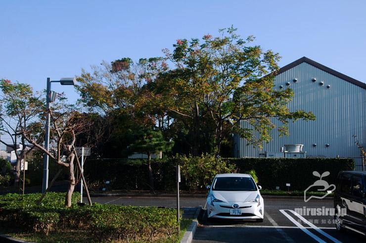 タイワンモクゲンジ 藤沢市・長久保公園 2020/11/26
