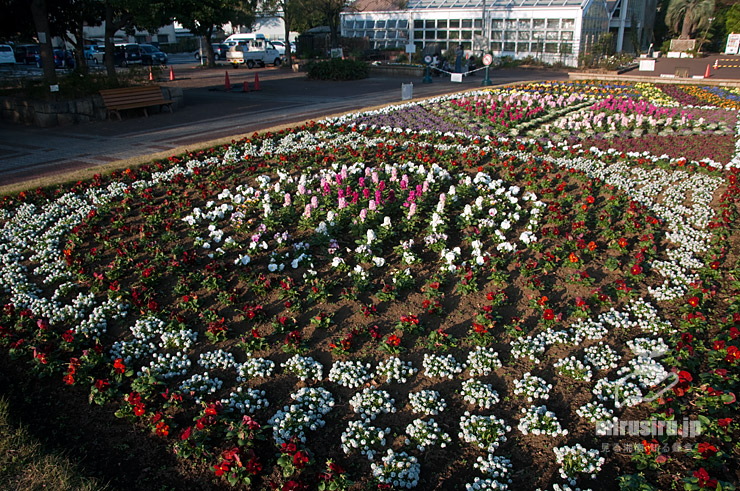 スイートアリッサムの花壇(他はパンジー、ストック、ハボタン) 藤沢市・長久保公園 2020/11/26
