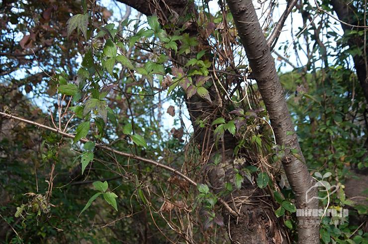 秋のシロバナハンショウヅル 横浜市栄区・横浜自然観察の森 2020/11/30