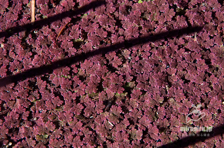 ハス鉢を覆った、よく赤く染まった真冬のアゾラ 鎌倉市・大船フラワーセンター 2021/01/10