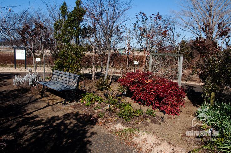 オタフクナンテンの紅葉 平塚市・花菜ガーデン 2021/01/19
