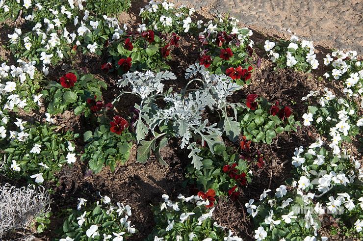 花壇に植えられたシロタエギクの苗 平塚市・花菜ガーデン 2021/01/19