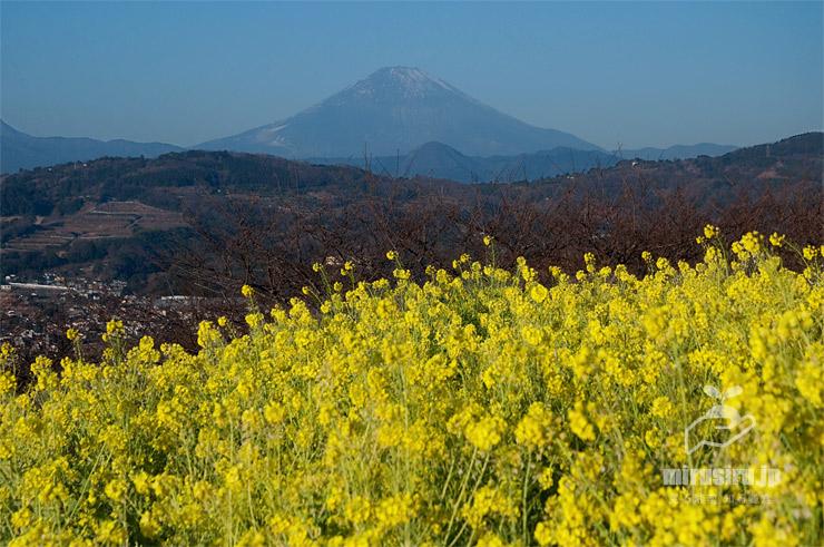 ナノハナ 二宮町・吾妻山公園 2021/01/21 ※富士山の冠雪が記録的に少ないのは暖冬ではなく降雨がないため