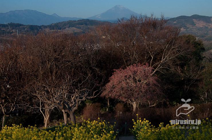 冬の落葉して実が残っているマユミ 二宮町・吾妻山公園 2021/01/21