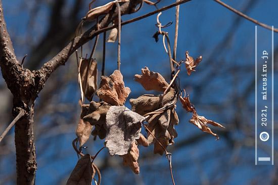 ヌルデノミミフシ(五倍子)の残骸 二宮町・吾妻山公園 2021/01/21