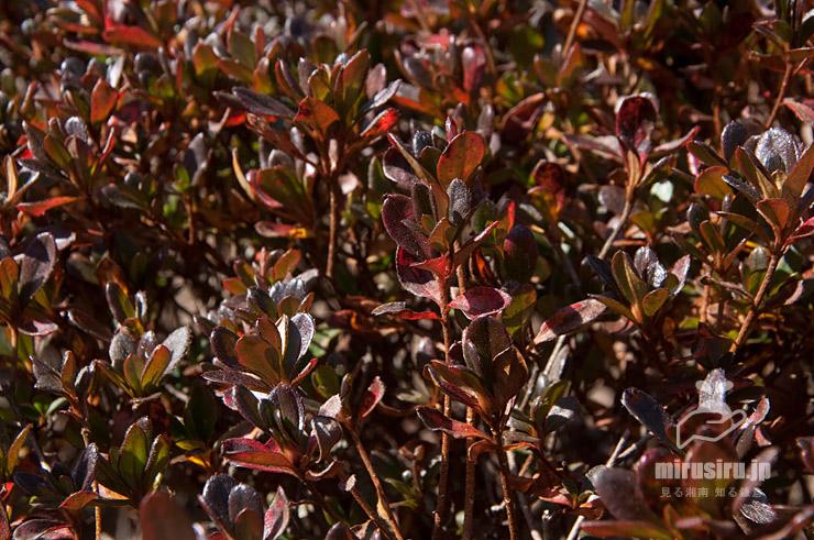 葉は小さくて紅葉もしているが、イヌツゲ形なのでサツキではなくクルメツツジ 二宮町・吾妻山公園 2021/01/21