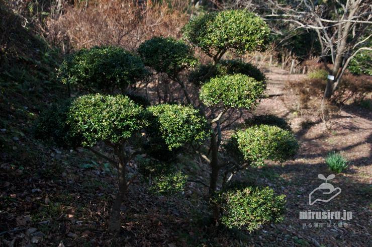 イヌツゲでよく見かける玉散らし仕立て 二宮町・吾妻山公園 2021/01/21