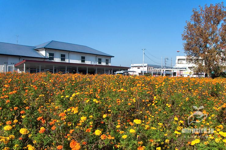 マリーゴールド(左は駅舎、右はプラタナス) 横須賀市・JR久里浜駅前 2020/11/13