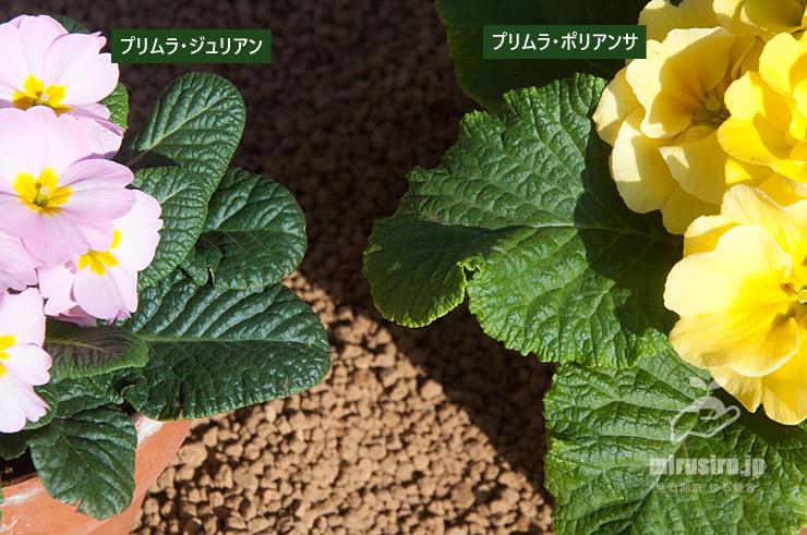 プリムラ・ジュリアンとプリムラ・ポリアンサの葉の比較 茅ヶ崎市浜之郷 2021/02/07