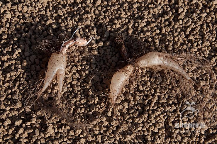 (地上部は降霜で傷んで消滅した)インカノカタバミの根茎 茅ヶ崎市浜之郷 2021/02/07