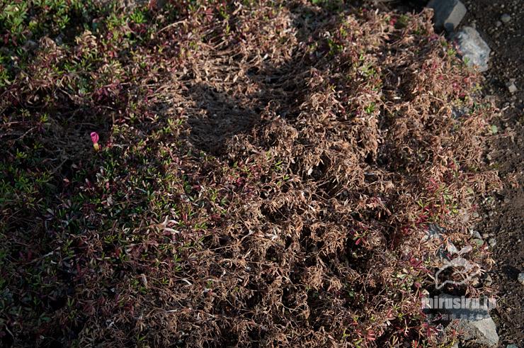 降霜で枯れてしまった、日当たり悪い地植えのオキザリス・グラブラ('桃の輝き') 茅ヶ崎市浜之郷 2021/02/07