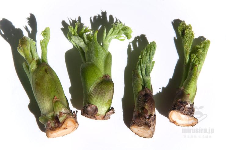 市販のタラノキの芽(たらの芽)、じつは既にちょっと傷んでいる 2021/02/18