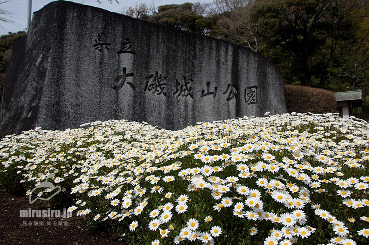 花壇に密植されたノースポール 大磯城山公園 2019/04/11