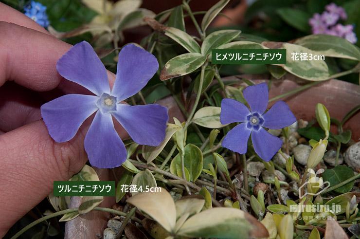 ツルニチニチソウとヒメツルニチニチソウの花の大きさ比較 茅ヶ崎市浜之郷 2021/03/09