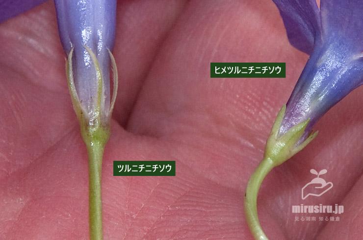 ツルニチニチソウとヒメツルニチニチソウの萼の違い 茅ヶ崎市浜之郷 2021/03/09