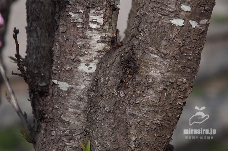 ハナモモの黒ずんできた幹(樹皮) 茅ケ崎里山公園 2021/03/19