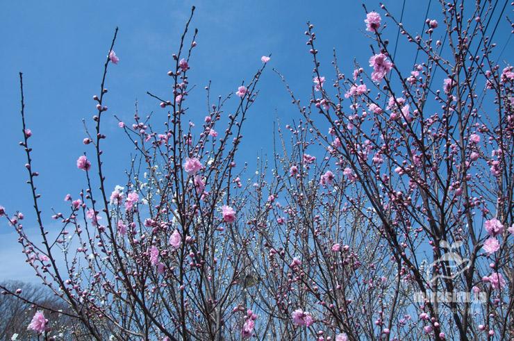 上に向かって伸びようとするハナモモの枝ぶり 茅ケ崎里山公園 2021/03/19