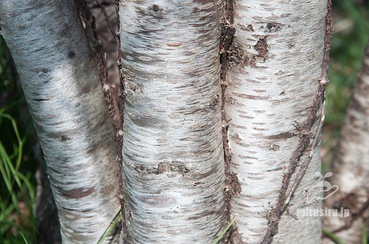 ハナモモの白い幹(樹皮) 茅ケ崎里山公園 2021/03/19