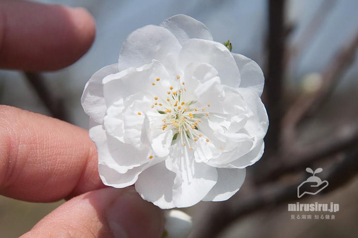 ハナモモ、花径4cm 茅ケ崎里山公園 2021/03/19